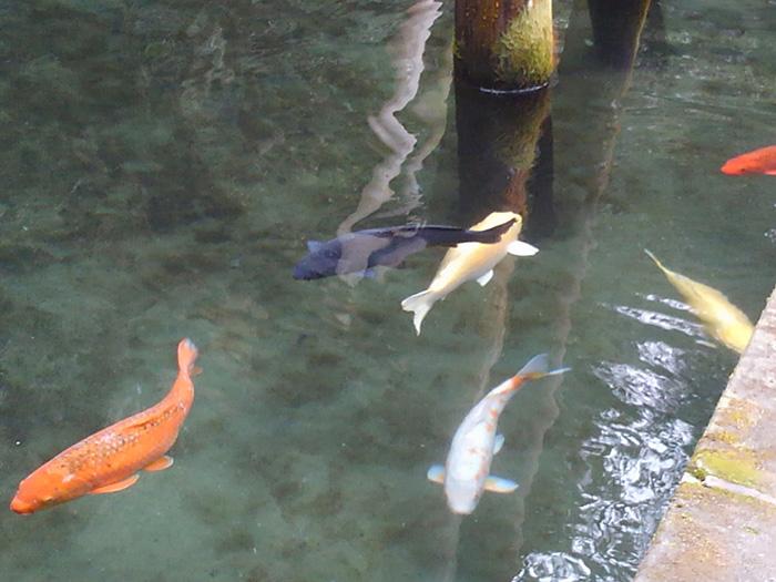 金の鯉(黄色い鯉)